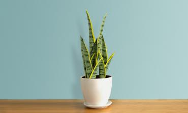Plante artificielle - Sanseveria
